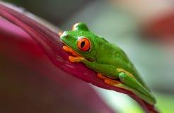 Red-eyed Baumfrosch stockfoto