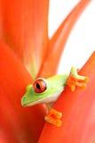Red-eyed Baumfrosch Lizenzfreie Stockfotografie
