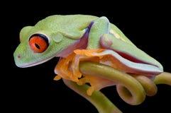 Red-eyed Baumfrosch, der unten schaut Lizenzfreie Stockbilder
