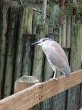 Red-eyed bird Stock Image