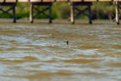 Red-eyed Bird on the Lake. Eared Grebe Bird royalty free stock photo