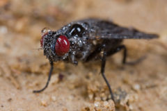 Red eyed, black fly Stock Photos
