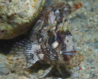 Red-eyed blenny shows under a rock Stock Photography