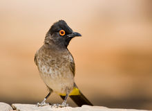 Red-Eyed Bulbul Royalty Free Stock Photo