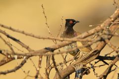 Red-Eyed Bulbul - African Wild Bird Background - Color Tones of Nature Stock Image