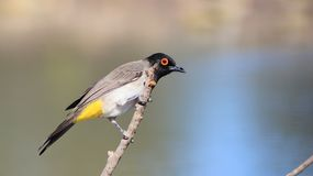 Red-eyed Bulbul - Beautiful Portrait from Africa Royalty Free Stock Images