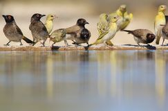 Red-Eyed Bulbul and Black Masked Weavers - Colorful Bird Background - Bliss of Life. A flock of Red-eyed Bulbuls and Black Masked Weavers visit a watering hole Stock Photography