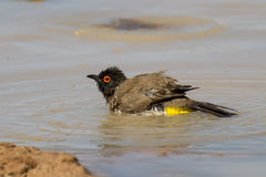 Red eyed bulbul having a bath to cool down Stock Image