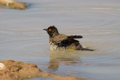 Red eyed bulbul having a bath to cool down in hot Kalahari sun Stock Photography