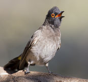 Red-eyed Bulbul sitting on a rock ready to fly Stock Photo