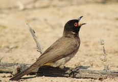 Red-eyed Bulbul - Swallowing Stock Photography
