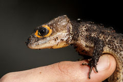 Red eyed crocodile skink on a finger of a man Stock Images