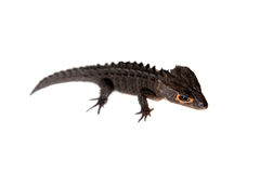 Red-eyed crocodile skinks, tribolonotus gracilis, on white Royalty Free Stock Photography