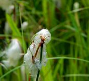 Red-eyed Damselfly on Cotton Grass stock photos