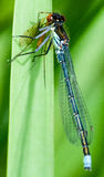 Red-eyed damselfly Stock Image
