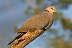 Red-eyed dove Stock Image
