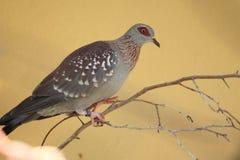 Red-eyed dove стоковые фотографии rf