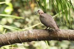 Red-eyed dove in Gambia Stock Photos