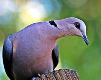 Red-eyed Dove. The largest of our Southern African collared doves. They are common in our woodlands, forests and gardens. I took this photo in our garden while Royalty Free Stock Image