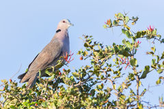 Red-eyed Dove. A Red-eyed Dove, perched in a flowering Acacia bush in Kenya's Nairobi National Park Royalty Free Stock Photo