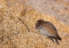 Red-eyed dove perched on rock royalty free stock photos