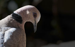 Red Eyed dove portrait with black background Stock Image