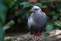 Red-eyed dove Stock Images