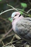 Red-eyed Dove (Streptopelia semitorquata) Royalty Free Stock Photography