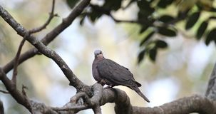 Red-eyed Dove on Tree Branch. Red-eyed dove, Streptopelia semitorquata, perches on dry tree branch  in Ziway, Ethiopia, Africa stock video
