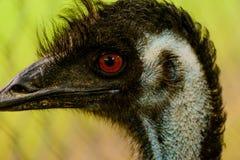 Red eyed Emu Royalty Free Stock Photos