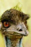 Red eyed Emu Royalty Free Stock Images