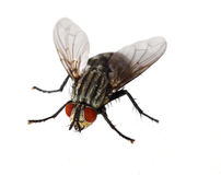 Red Eyed Fly Royalty Free Stock Image