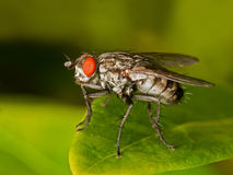 Red eyed Fly Royalty Free Stock Images