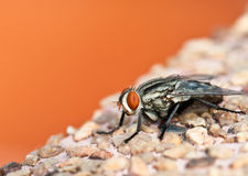 Red eyed fly Stock Photography