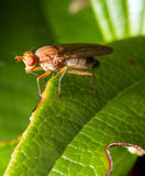 Red eyed fly Stock Image