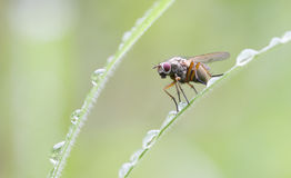 Red eyed fly closeup Royalty Free Stock Photos