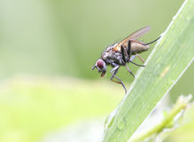Red eyed fly closeup Royalty Free Stock Images
