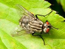 Red eyed fly on green leaf Royalty Free Stock Photos
