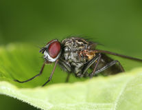 Red eyed fly on a green leaf macro Stock Image