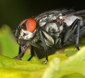 Red-eyed fly macro close-up. Red-eyed fly insect on green leaf, macro close-up stock images