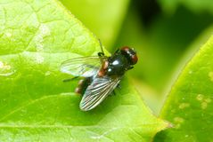 Red eyed fly on a leaf Royalty Free Stock Images