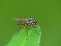 Red-Eyed Fly On A Leaf Royalty Free Stock Image