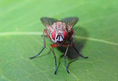 Free Red Eyed Fly On A Green Leaf Royalty Free Stock Photo - 150834425