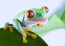 Red eyed frog Royalty Free Stock Photography