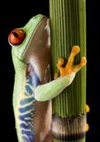 Red eyed frog Stock Photo
