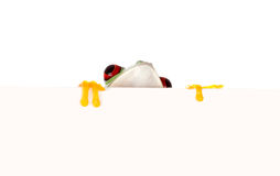 Red eyed frog behind paper. Young red eyed tree frog isolated on a white page Royalty Free Stock Photos