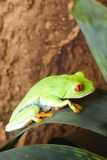 Red eyed frog Royalty Free Stock Images