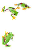 Red eyed frog corner. Young red eyed tree frogs isolated on a white page Royalty Free Stock Images