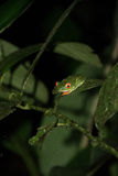 Red eyed frog. In Costa Rica Stock Photos
