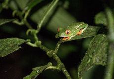 Red eyed frog in Costa Rica. Forest Royalty Free Stock Photos